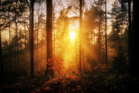 shining forest