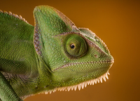 Chameleon 11098065296| 写真素材・ストックフォト・画像・イラスト素材|アマナイメージズ