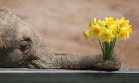 Daffodil Admirer