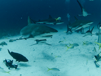 Shark Dive Bahamas