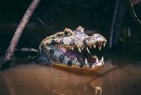 Spectacled caiman 11098065708| 写真素材・ストックフォト・画像・イラスト素材|アマナイメージズ