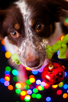 Christmas dog border collie