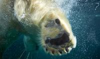Polar bear enjoying coming of spring