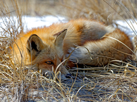 Red Fox - Laying Low