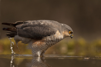Hawk catching fish