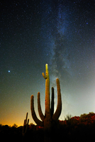 Saguaro cactus (Carnegiea gigantea) in desert under starry sky at night