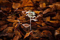 Frost on seedling with autumn leaves