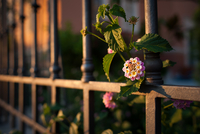 Close-up of flower growing between iron fencing