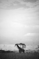 Giraffe standing in savannah
