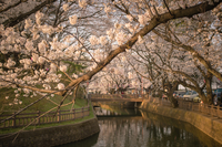 Flowering tree over water canal