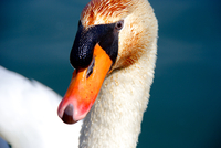 Close up of swans head