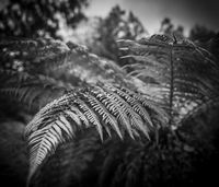 Fern plant leaves in black and white