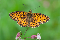 Orange pearl-bordered fritillary (Boloria euphrosyne) butterfly perching