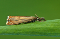 Close-up of garden grass-veneer (Chrysoteuchia culmella) moth perching