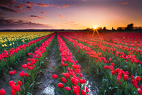 Red tulip field at sunset