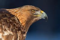 Profile of head of golden eagle (Aquila chrysaetos)