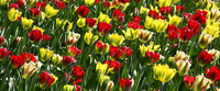 Colorful tulip field background