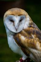 Portrait of barn owl (Tyto alba)