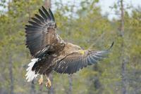 Eagle descending in winter