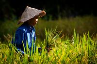 East Asian farmer harvesting rice