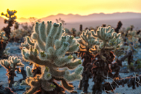 Cacti in desert at sunset