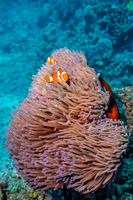 Ocellaris clownfish (Amphiprion ocellaris) and sea anemone underwater
