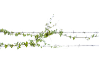 Ivy growing on barbed wire against white background