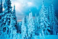 Snow-covered coniferous forest at sunset in winter