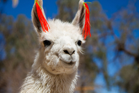 Head of white alpaca