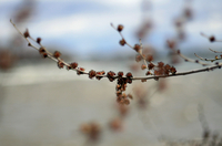 Close-up of dry flowers on twig in autumn