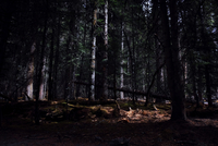Dark dense coniferous forest