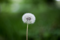 Single dandelion seed pod