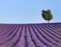 Background of lone tree on purple flower field