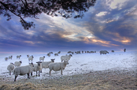 Herd of sheep on snow-covered meadow