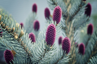 Flowers on coniferous tree branch