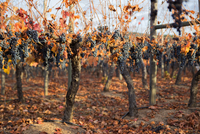 Red grapes in vineyard in autumn