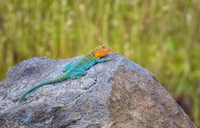 Collared lizard with orange head lying down on rock