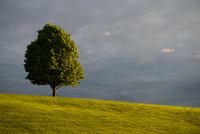Lone tree in grass field in moody weather