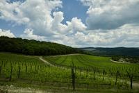 Landscape of vineyard in fair weather