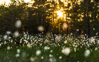 Cotton grass field at sunset