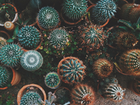 Potted cacti plants