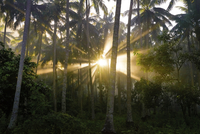 Sun shining between palm trees in tropical forest