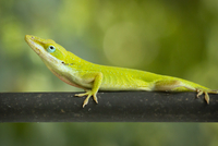 Carolina anole (Anolis carolinensis) bright green lizard