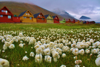 Cotton grass in meadow