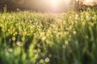 Close-up of grass with dew at sunrise
