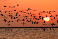 Flock birds flying over sea at sunset