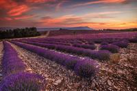 Lavender plantation at sunset