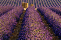 Lavender plantation at sunset