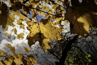 Close-up of yellow autumn leaf on tree