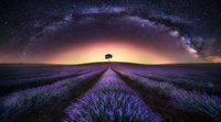Lavender field against starry sky at sunset